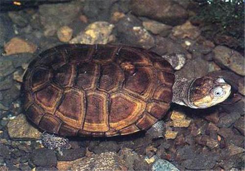 东非侧颈龟的寿命
