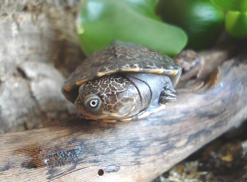 东非侧颈龟是保护动物吗