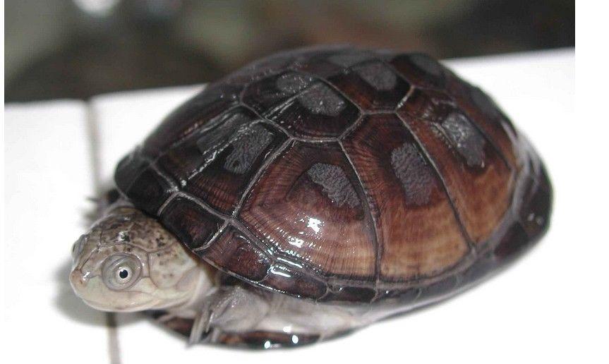 东非侧颈龟怎么闭壳