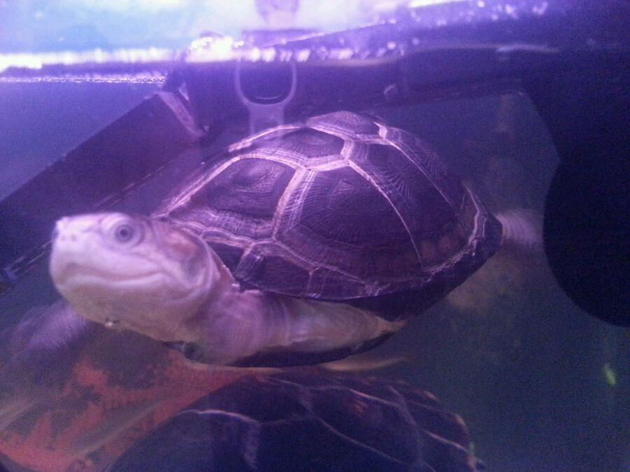 西非侧颈龟能干养吗 西非侧颈龟可以干养吗