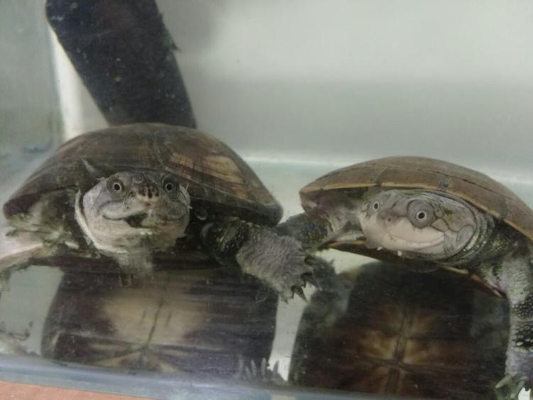 怎么挑选西非侧颈龟 西非侧颈龟如何挑选