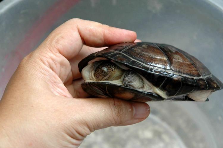西非侧颈龟是保护动物吗