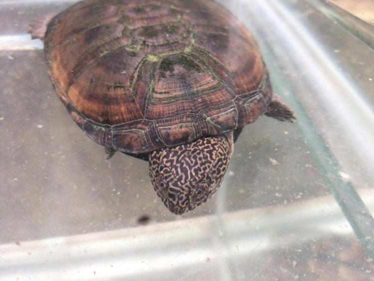 西非侧颈龟保护级别