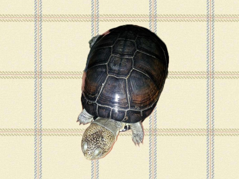 西非侧颈龟可以浅水养吗