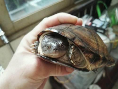西非侧颈龟是闭壳龟吗