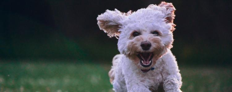 狗狗长大后每年该打什么疫苗