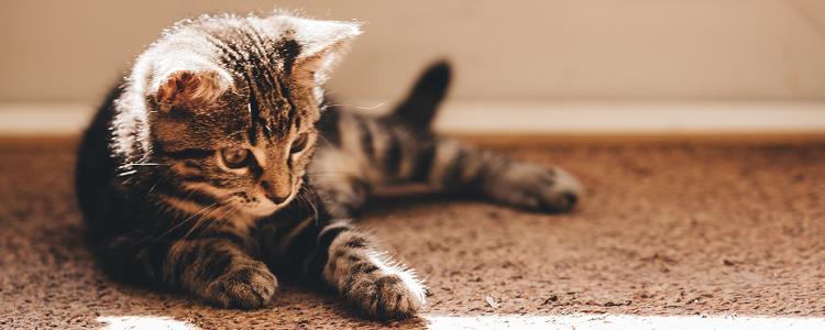 猫应激反应怎么引起的