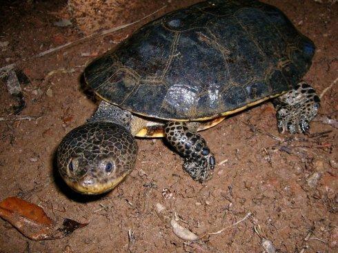 希氏蟾龟怎么过冬