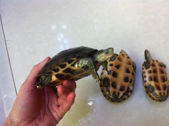 缺颌花龟怎么养