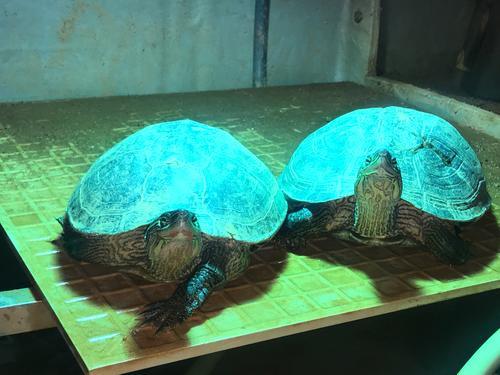 缺颌花龟吃什么