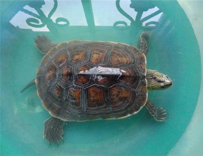 缺颌花龟多久喂一次