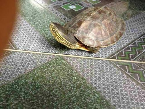 缺额花龟和缺颌花龟区别