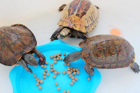 洪都拉斯木纹龟需要晒背吗