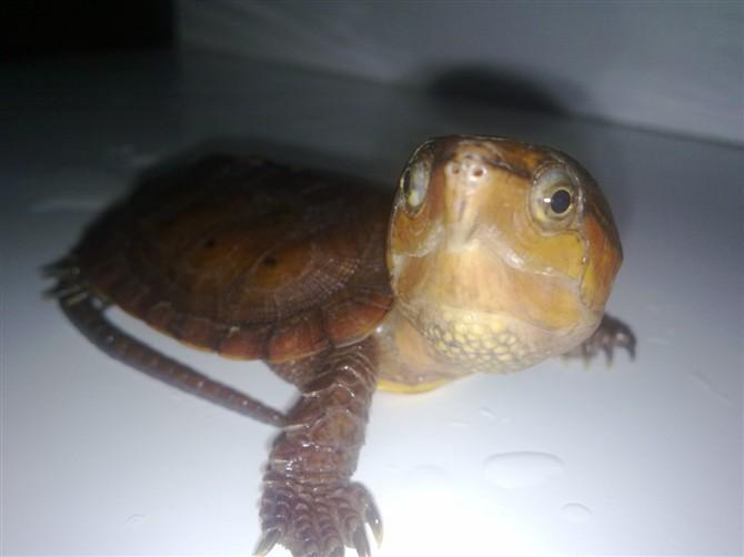 枫叶龟如何饲养