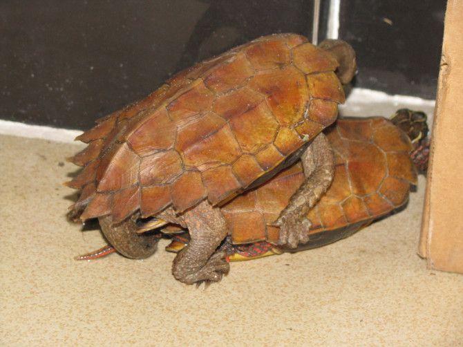 枫叶龟是保护动物吗