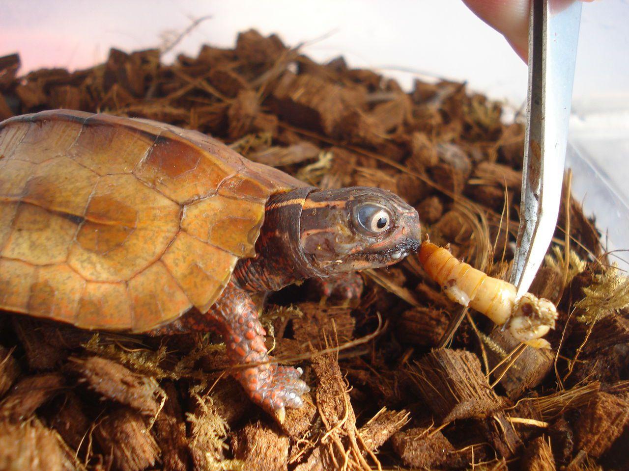 枫叶龟能活多少年