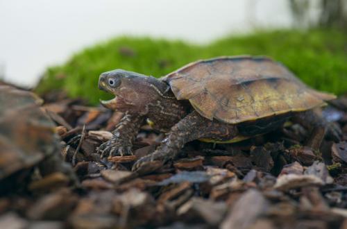 枫叶龟是水龟还是陆龟