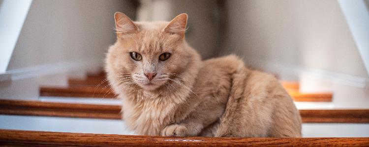 猫咪受惊吓得了猫传腹