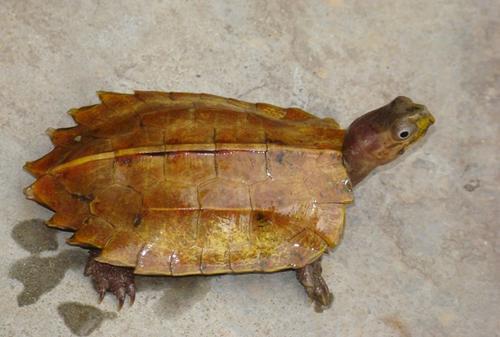 枫叶龟是闭壳龟吗