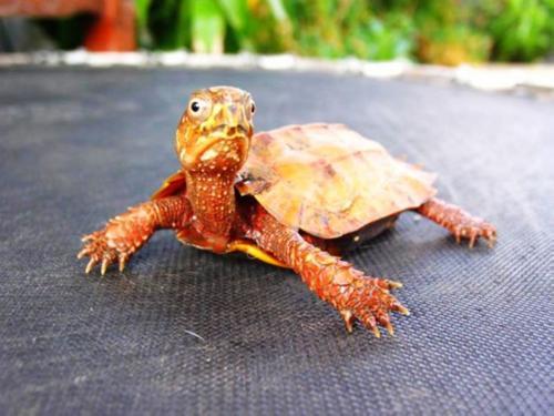 枫叶龟能闭壳吗