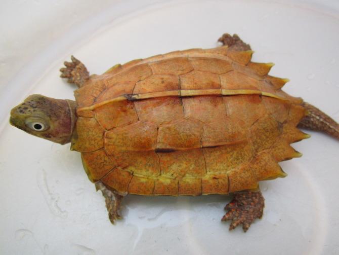枫叶龟耐寒吗 枫叶龟怕冷吗