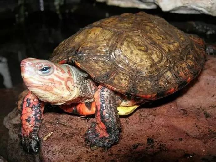 洪都拉斯木纹龟需要加温吗 洪都拉斯木纹龟饲养温度