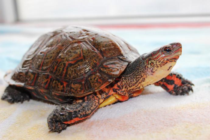 洪都拉斯木纹龟怕冷吗 洪都拉斯木纹龟耐寒吗