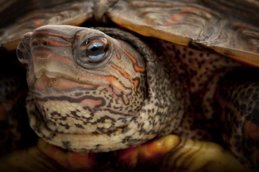 洪都拉斯木纹龟能冷水养吗