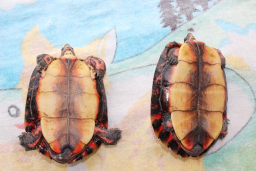 洪都拉斯木纹龟可以深水养吗