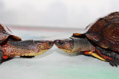 洪都拉斯木纹龟背甲干怎么办