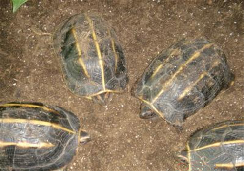 三棱黑龟咬人吗
