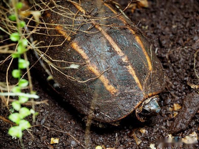 三棱黑龟好养吗