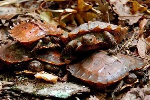 刺山龟的价格 刺山龟价格
