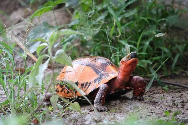 云南闭壳龟是国家一级保护动物吗