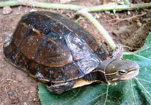 云南闭壳龟可以活多久