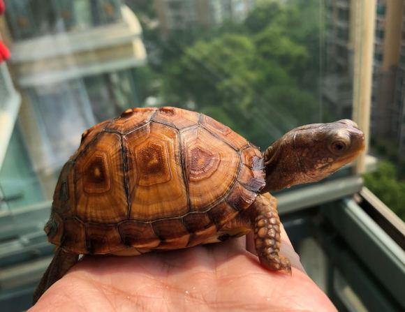 东部箱龟好养吗 东部箱龟的生活环境