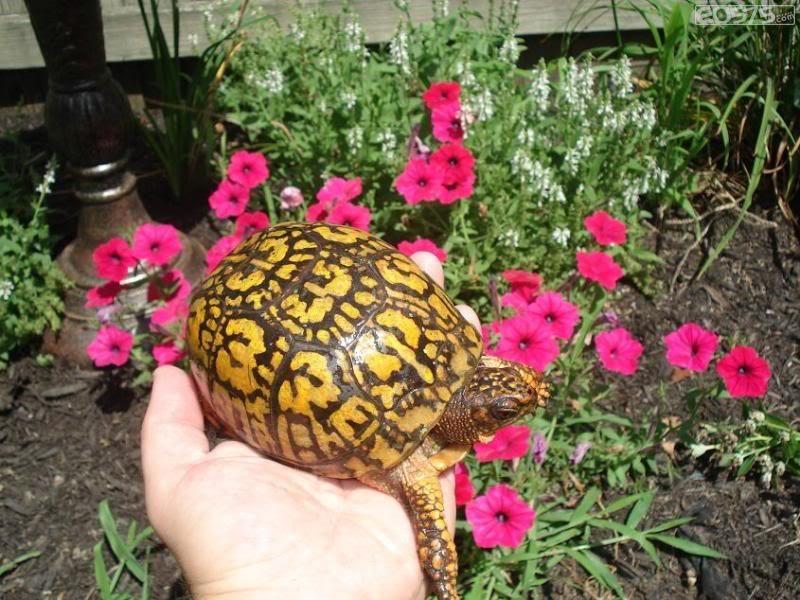 东部箱龟能长多大 东部箱龟可以长多大