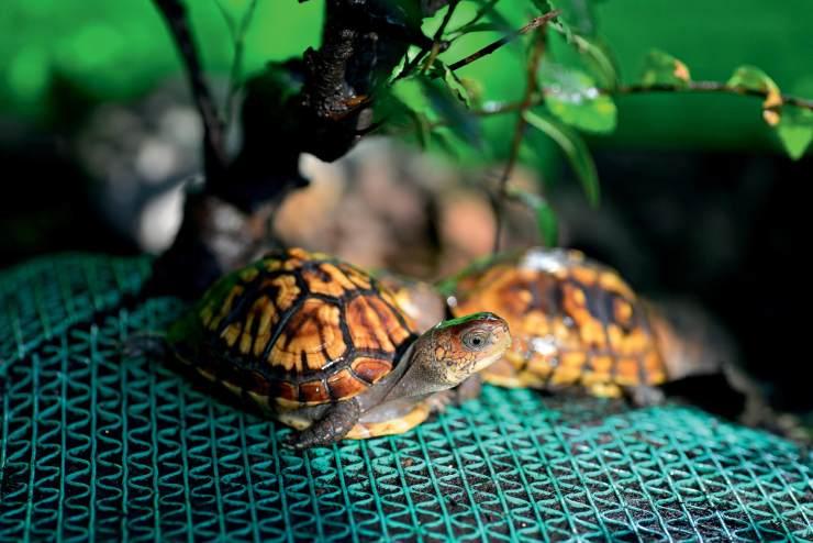 东部箱龟怎么分公母 东部箱龟如何分辨公母