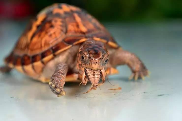 东部香箱龟怎么发色 东部箱龟吃什么有助发色