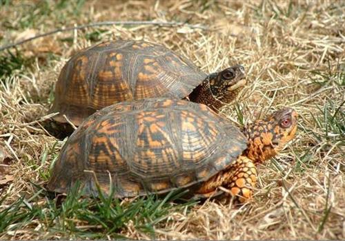 东部箱龟可以闭壳吗