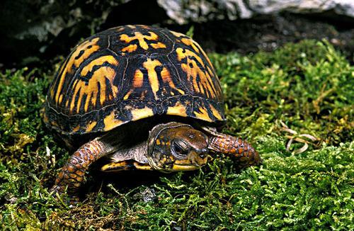 东部箱龟能冬眠吗 东部箱龟可以冬眠吗