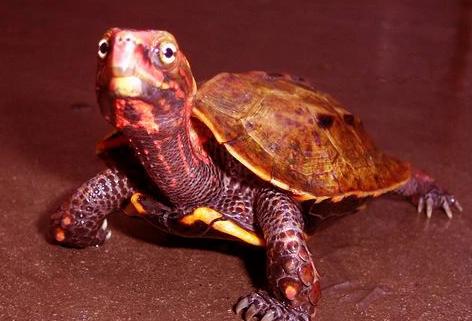 日本地龟冬眠吗