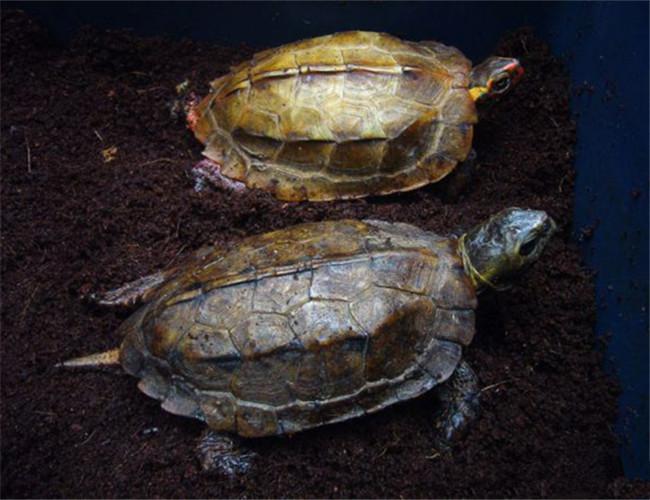 日本地龟怎么饲养