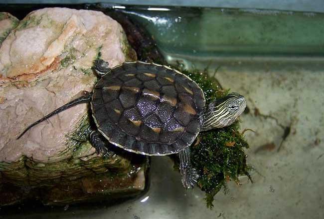 日本地龟属于枫叶龟吗 日本地龟是枫叶龟么