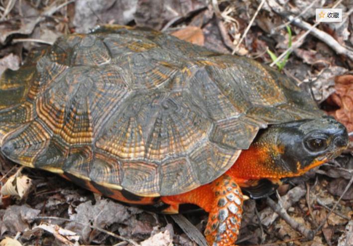 木雕水龟有多聪明