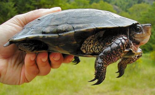 木雕水龟饲养方法 木雕水龟饲养环境