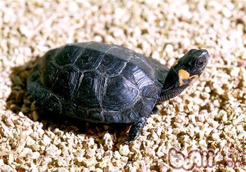 木雕水龟吃什么