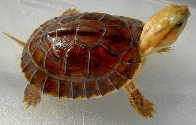 金头闭壳龟如何发色