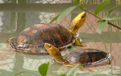 金头闭壳龟过冬方法 金头闭壳龟怎么过冬