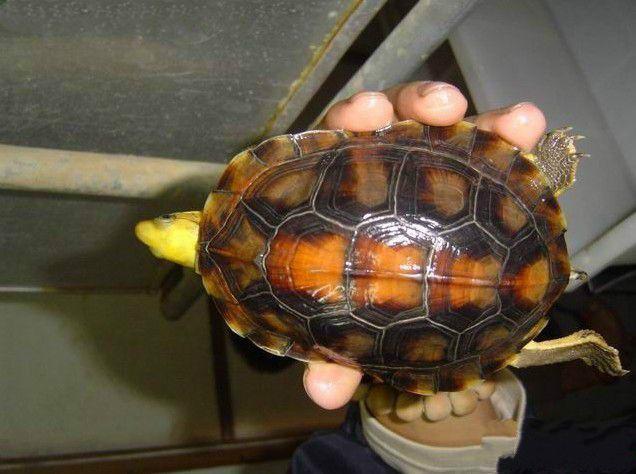 金头闭壳龟不吃东西的原因